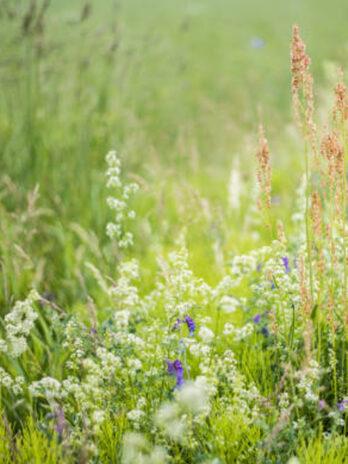 DZIKA ŁĄKA facelia i polne zioła późne